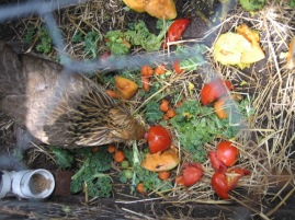 The Compost is appreciating the addition of market rejects, and so are the hens.
