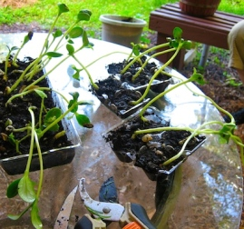 Spaghetti Squash seedlings for both gardens.
