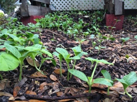 Pumpkins take over the compost bin
